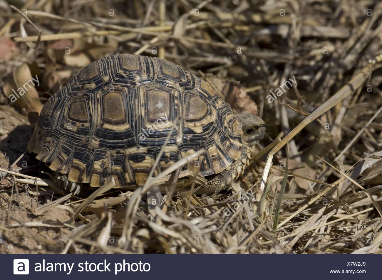 Leopard Tortoise Kruger National Park South Africa - Stock Image