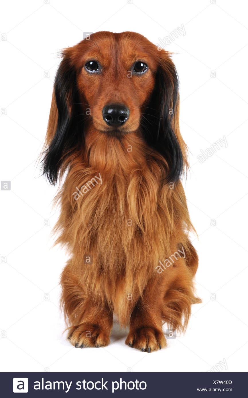 Long-haired Dachshund, Long-haired sausage dog, domestic dog (Canis lupus f. familiaris), full-lenght portrait, Germany - Stock Image