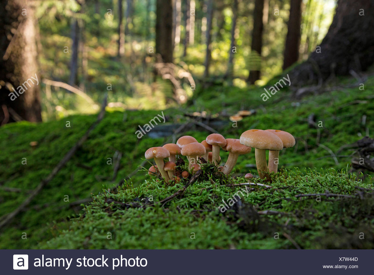 Dark honey fungus, Honey mushroom (Armillaria ostoyae, Armillariella polymyces, Armillaria solidipes), fruiting bodies on a mossy tree snag, Germany, Bavaria - Stock Image