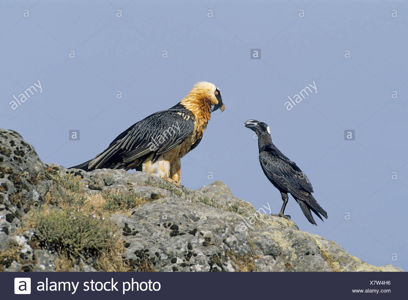 Thick-billed Raven and Bearded Vulture - Stock Image