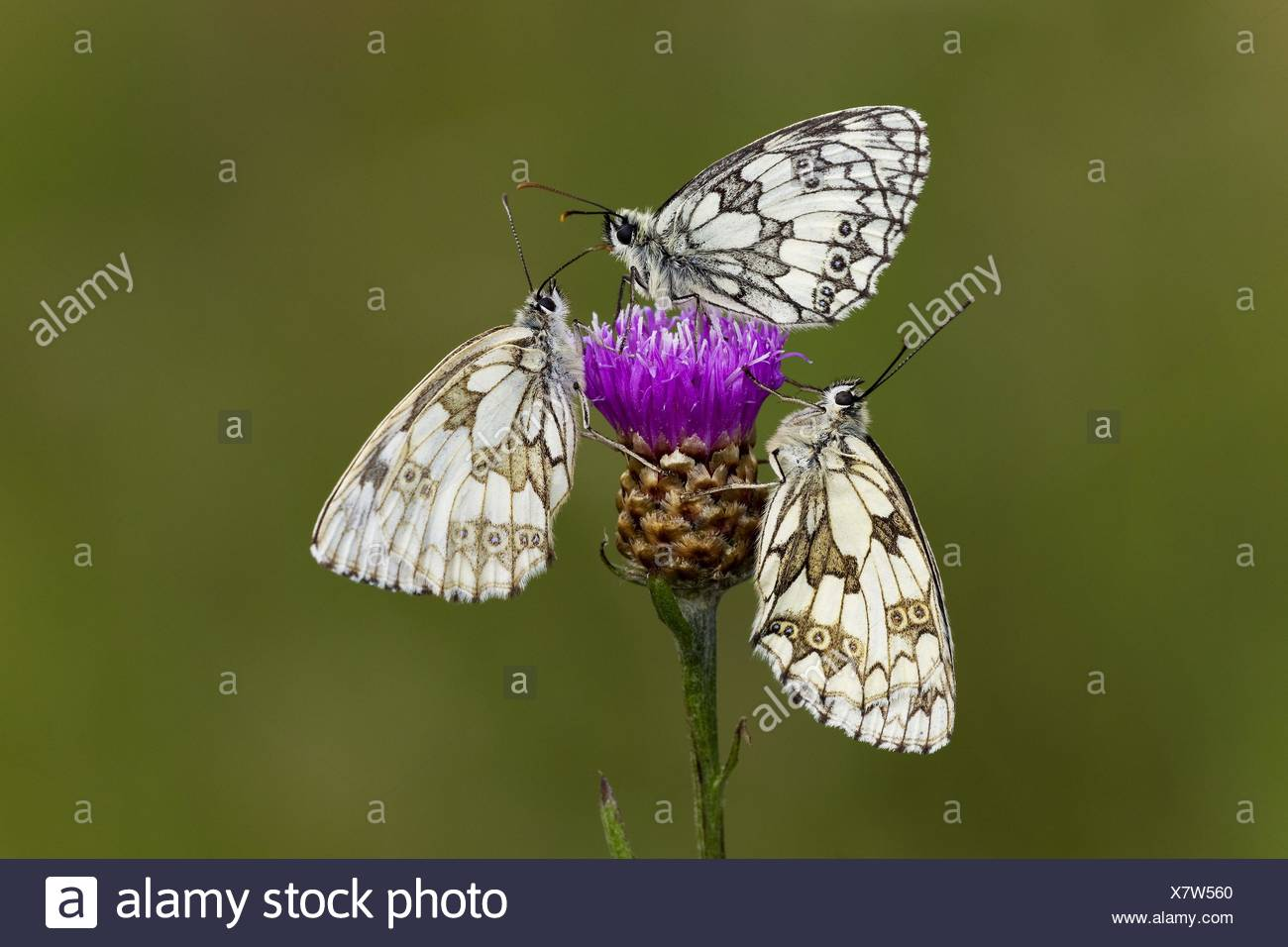 marbled white butterflies - Stock Image