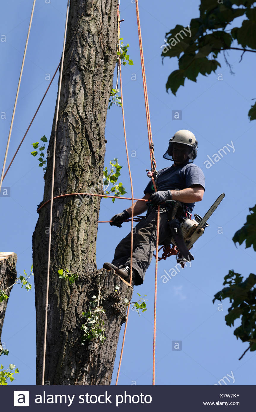 Aborist with cable safety devices and protection equipment in a tree, rope climbing technology for the care and felling of large - Stock Image