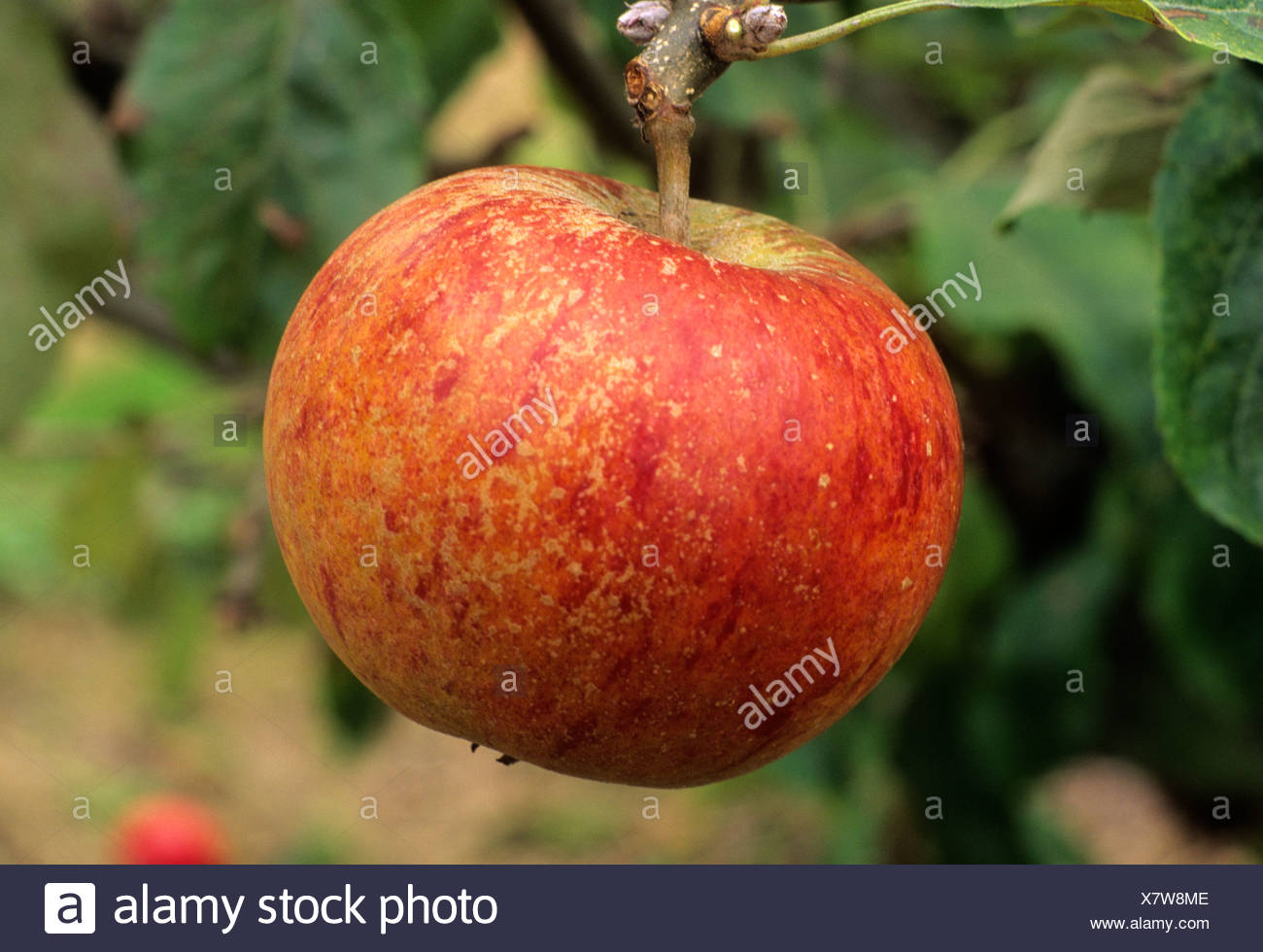 Apple Cox's Orange Pippin variety varieties fruit apples growing on tree, healthy eating - Stock Image