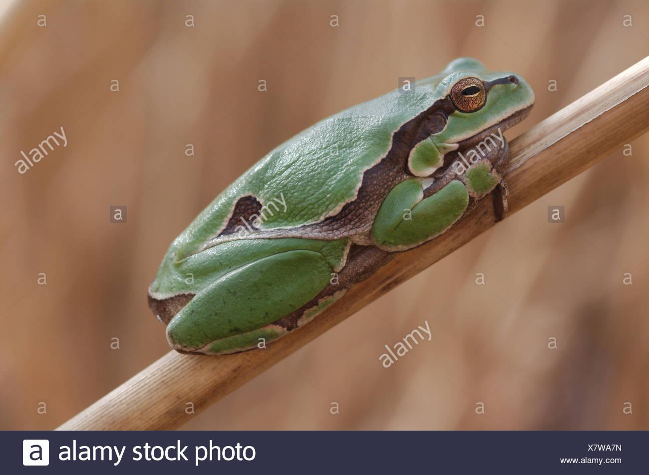 Austria, Europe, Burgenland, amphibian, Hylianea, European tree frog, tree frog, frog, Hyla arborea, reed Stock Photo