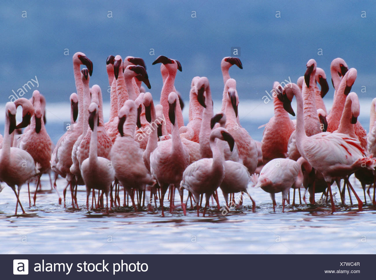 Lesser flamingos, Lake Nakuru National Park, Kenya - Stock Image