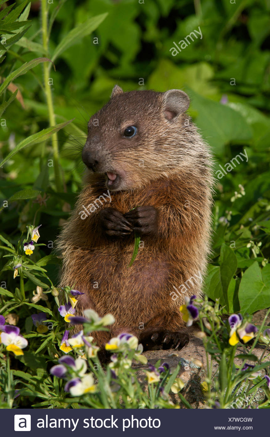 Young woodchuck (Marmota monax) in spring, eating vegetation. - Stock Image