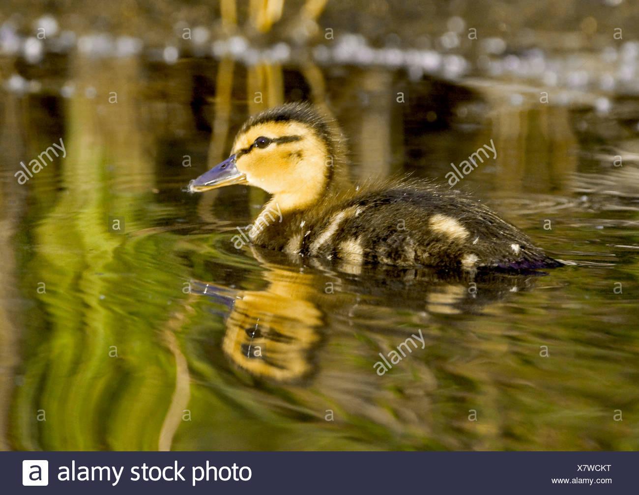 Alaska. Mallard (Anas platyrhynchos) duckling swimming in Cheney lake, Anchorage. - Stock Image
