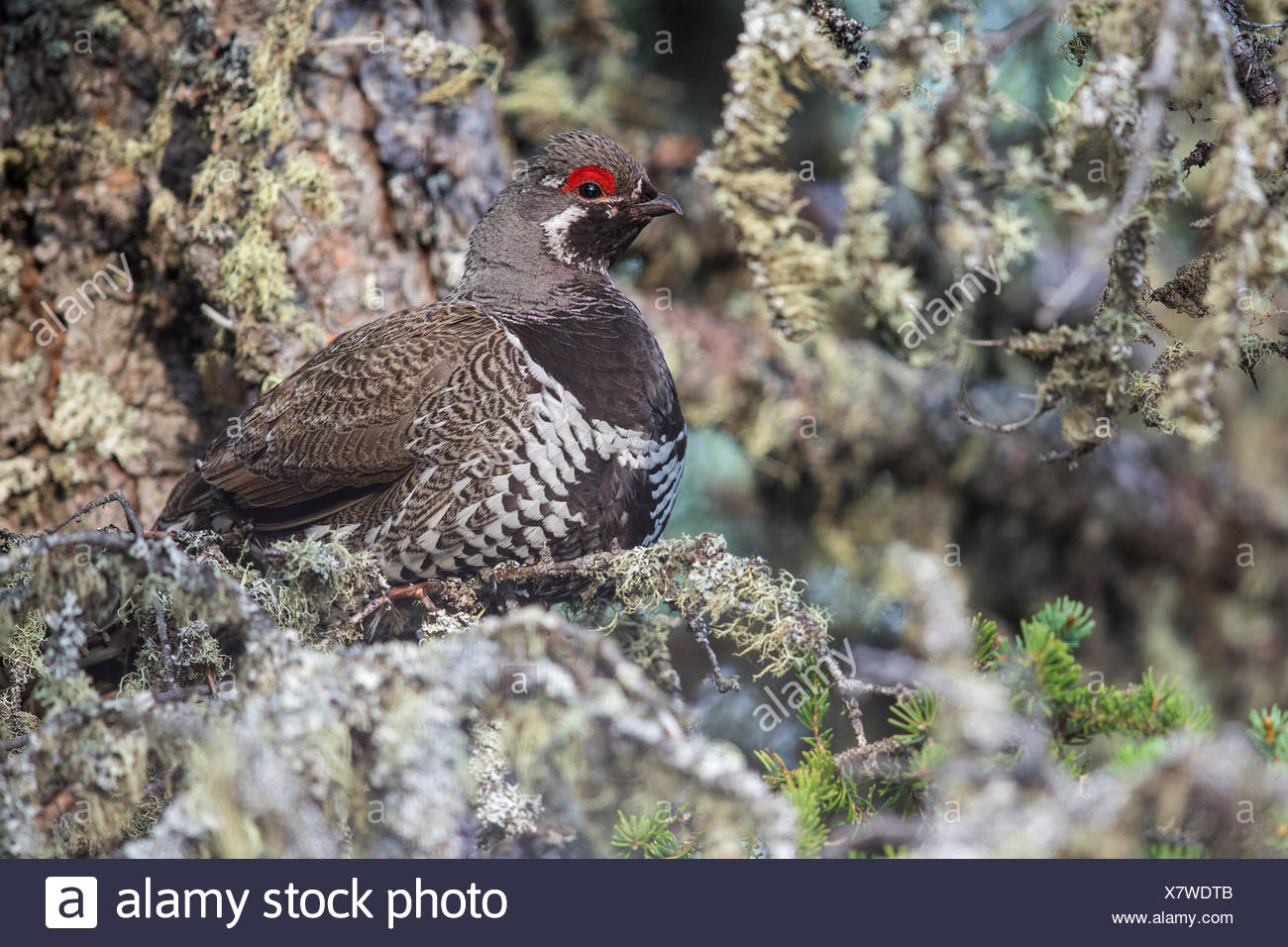 Spruce Grouse (Falcipennis canadensis) perched on a branch in Churchill, Manitoba, Canada. - Stock Image