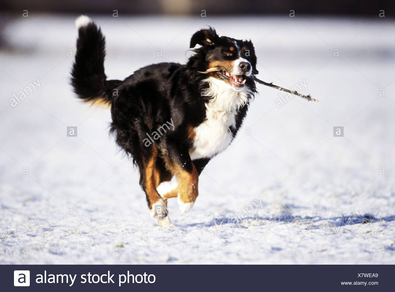Bernese mountain dog running on snow with stick in muzzle - Stock Image