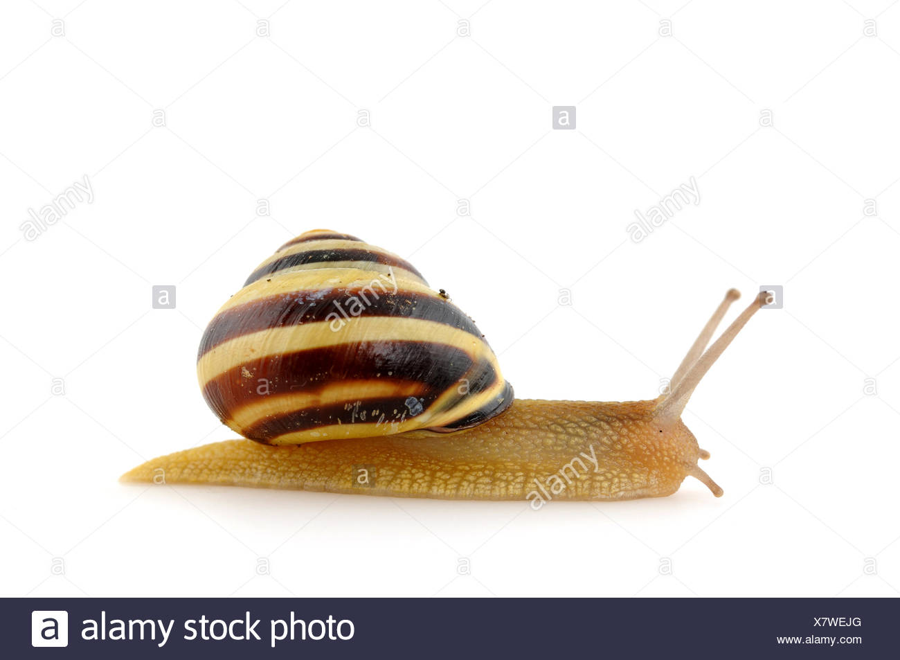 snail mucous slow - Stock Image