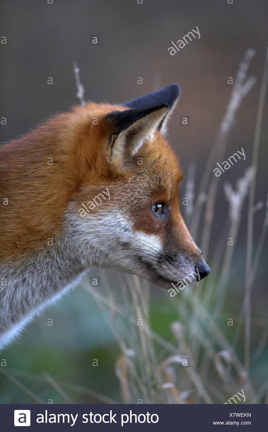 European Red Fox (Vulpes vulpes) in woodland in winter. UK - Stock Image