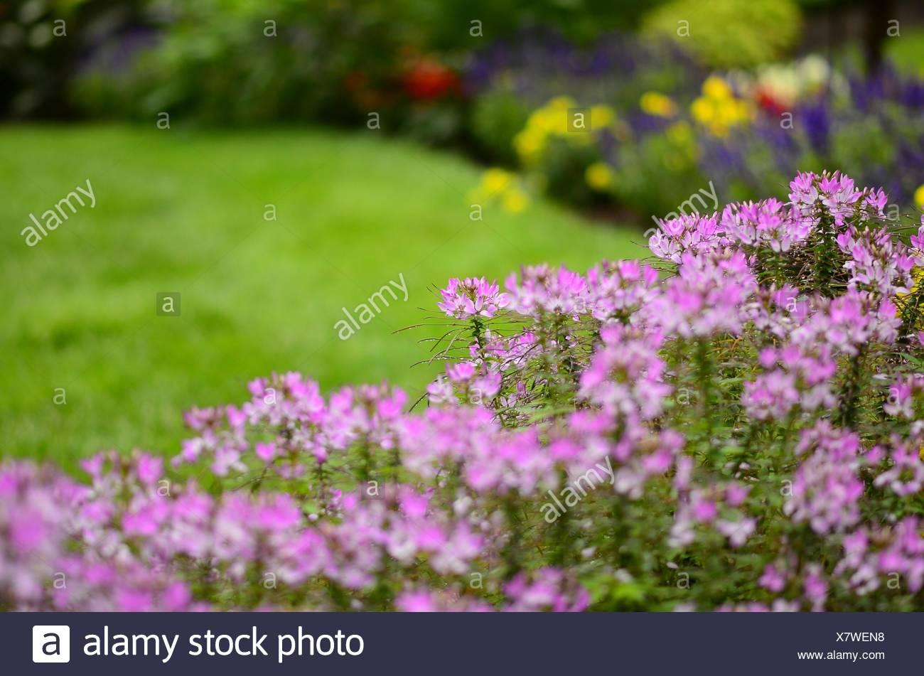 Cleome flowers in very soft focus highlight the flower garden, Pennsylvania, USA. - Stock Image