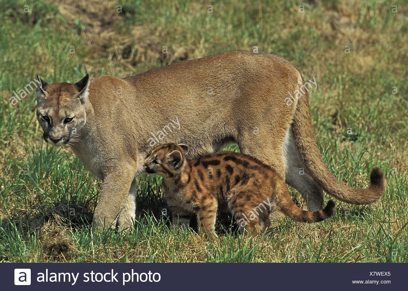 And cougar young Why Older