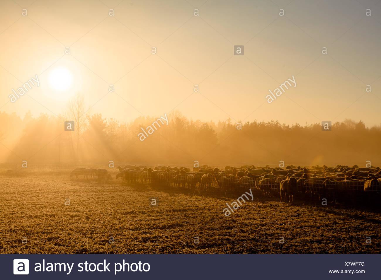 Sunrise Sheep - Stock Image