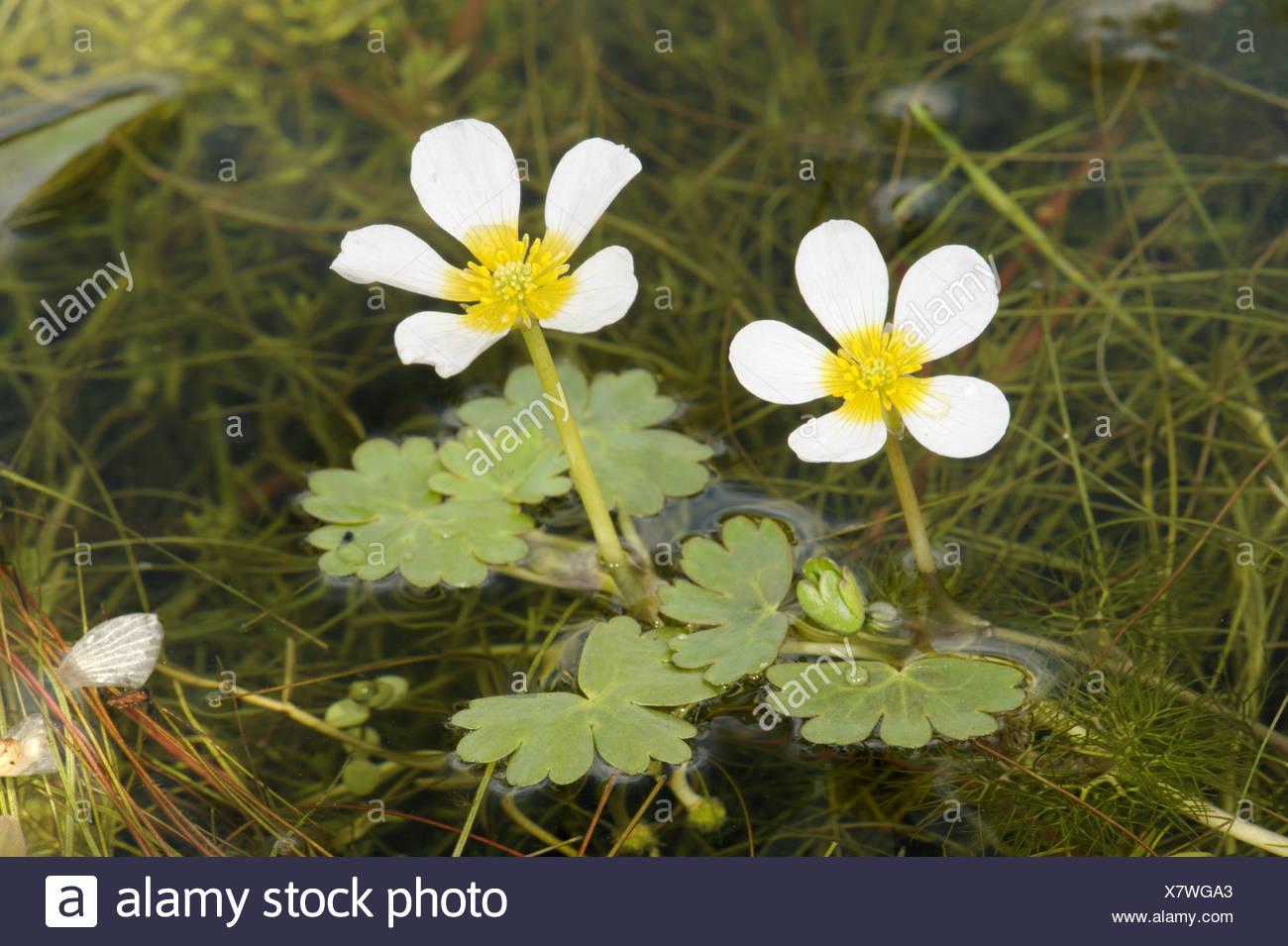 POND WATER-CROWFOOT Ranunculus peltatus (Ranunculaceae) - Stock Image