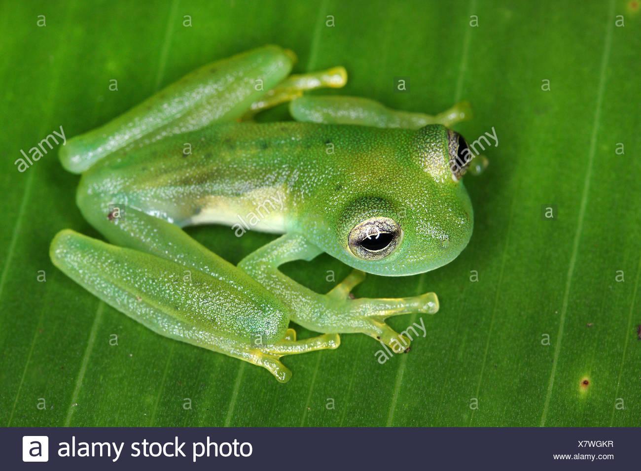 Glasfrosch, Glas-Frosch, Espadarana prosoplepon (Espadarana prosoplepon, Centrolena prosoplepon), sitzt auf einem Blatt, Aufsich - Stock Image