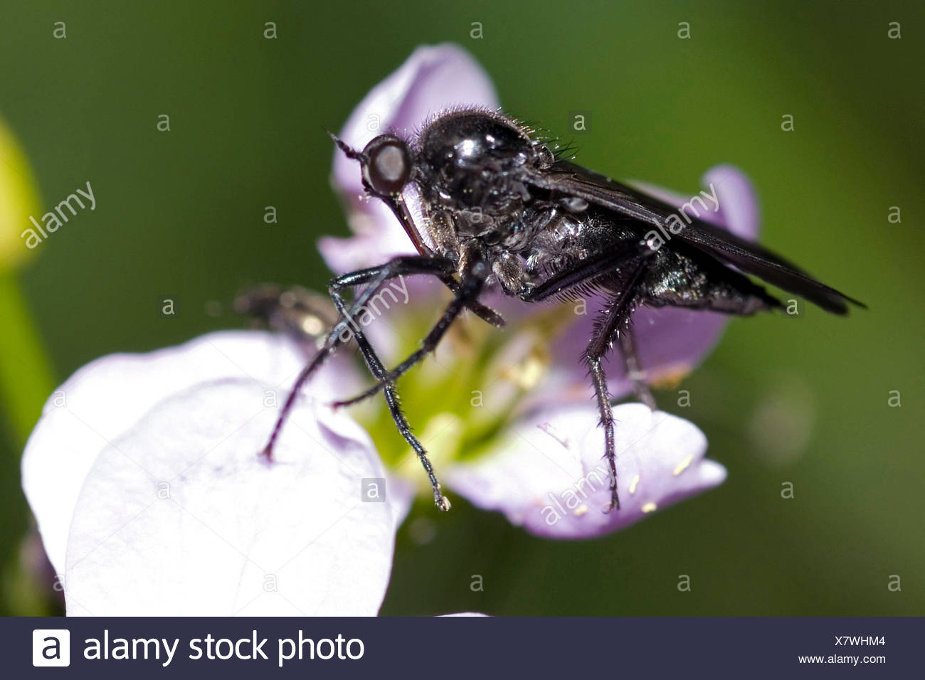 Black Dance Fly (Empis ciliata), on lilac flower, Germany - Stock Image