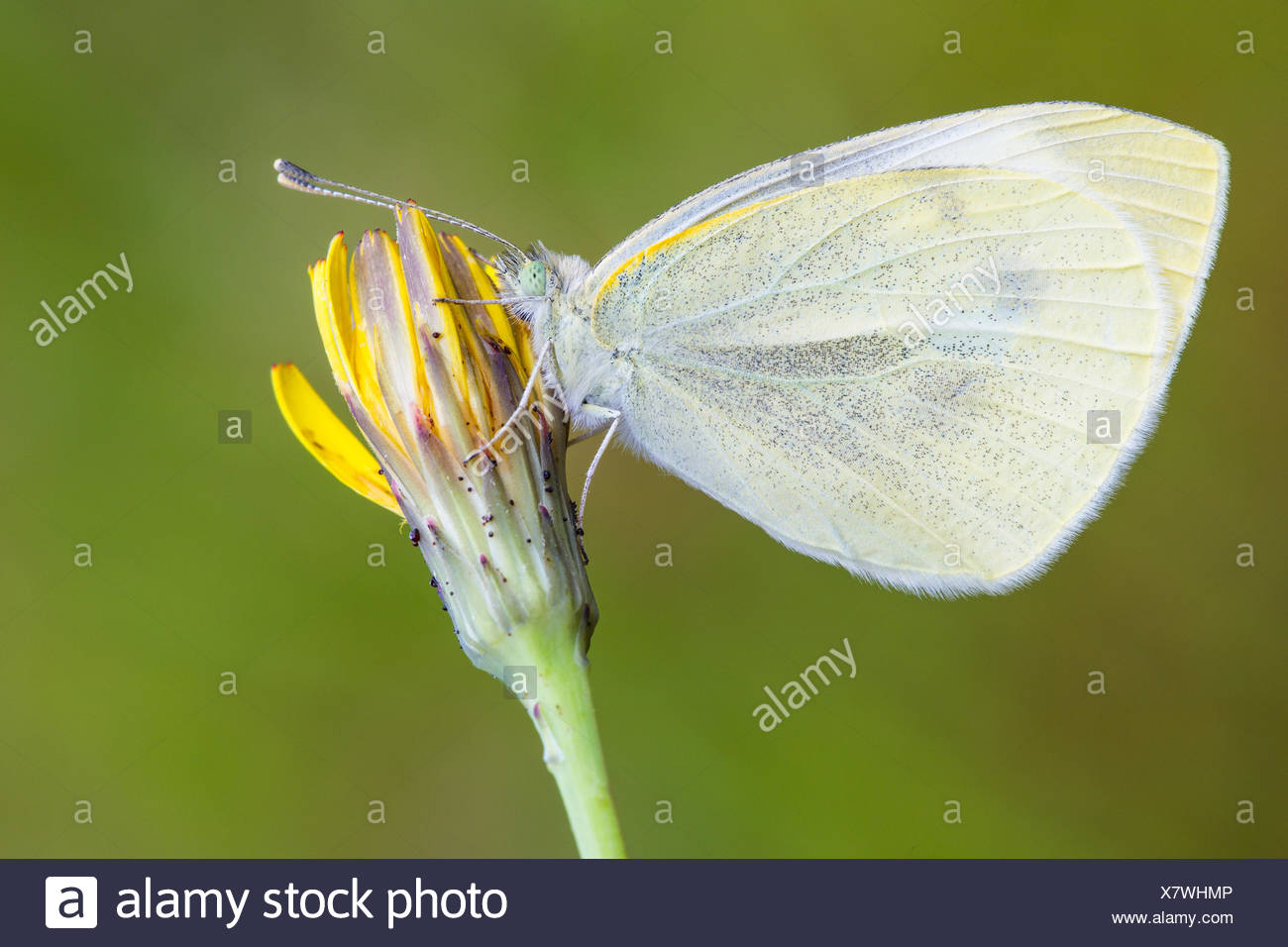 European cabbage butterfly - Stock Image
