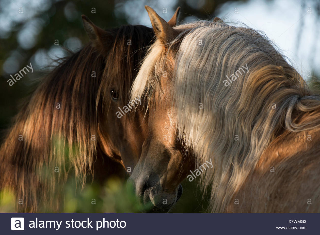 Two wild Mustang stallions meeting in trees, Carrott Island, South Carolina, USA. - Stock Image