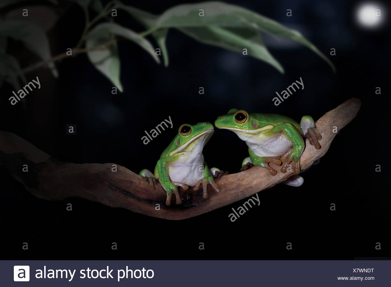 Two frogs sitting face to face in a tree - Stock Image