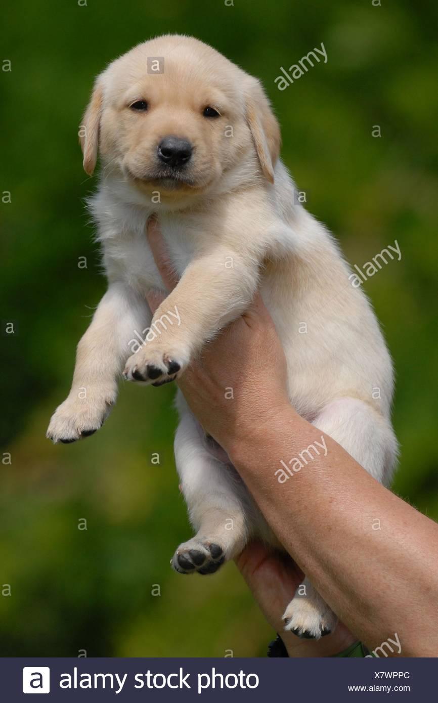 Blonde Labrador Puppy Stock Photo Alamy