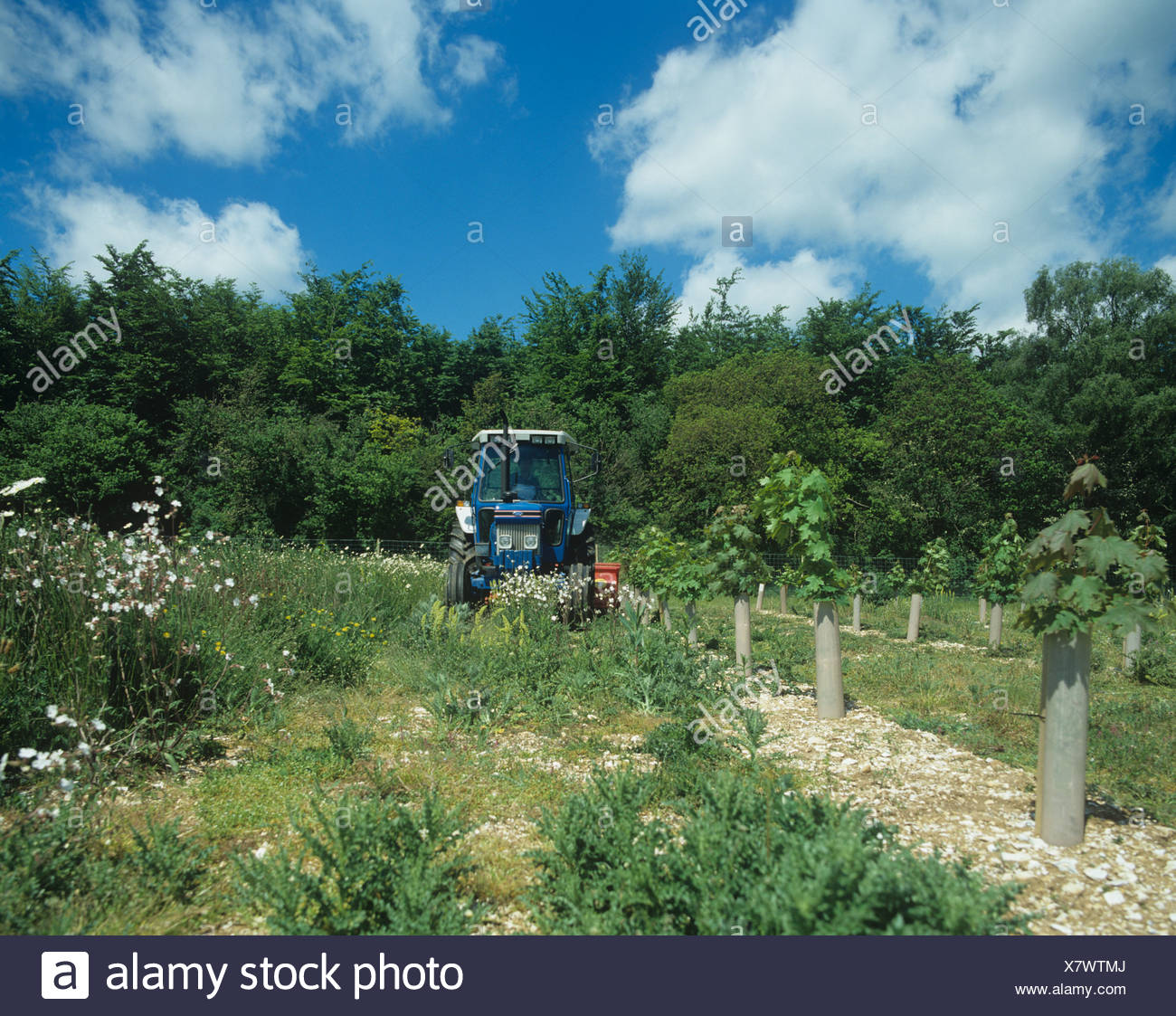 Tractor and mower topping weeds between the rows of young maple trees - Stock Image
