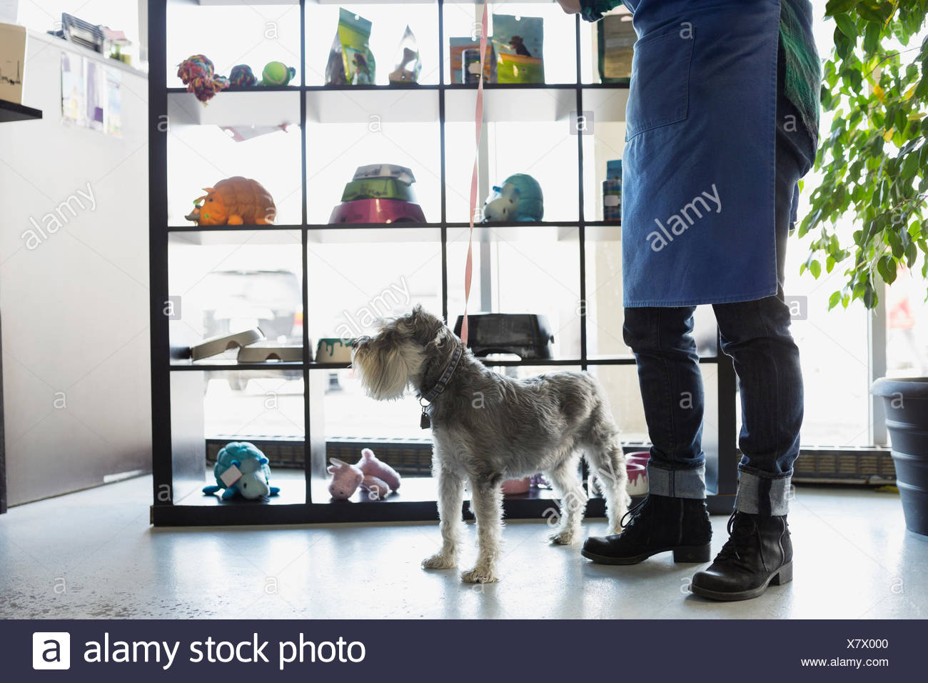 Dog daycare owner with schnauzer in lobby - Stock Image