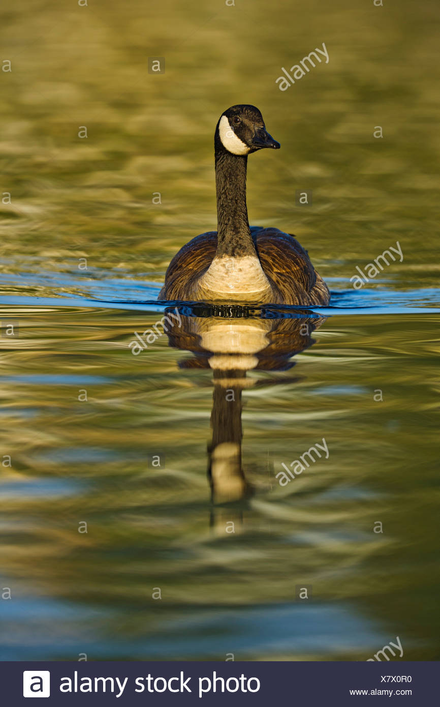 Canada, British Columbia, Vancouver Island, Canada Goose