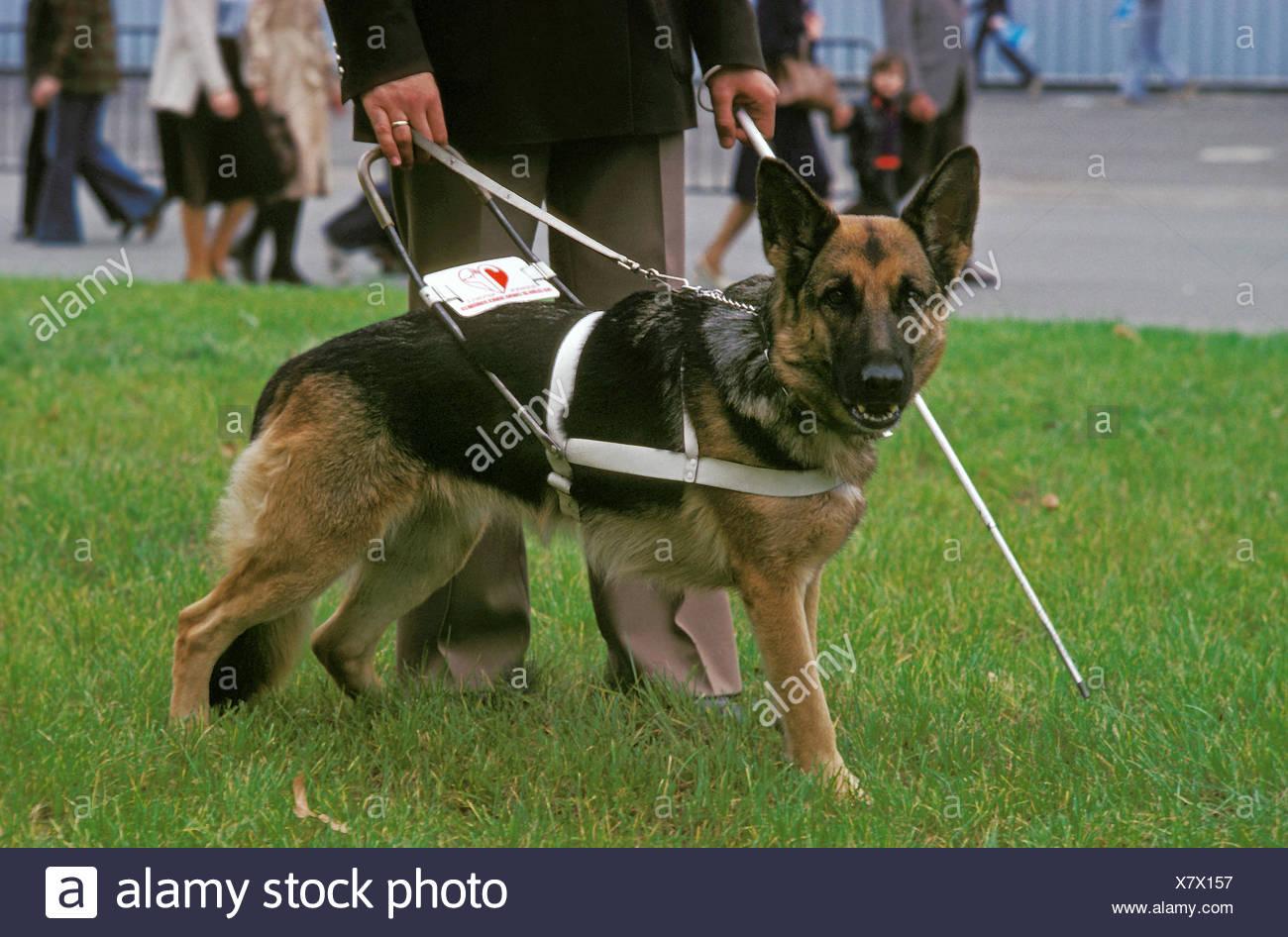German Shepherd Dog, Guide Dog for Blind, walking with owner