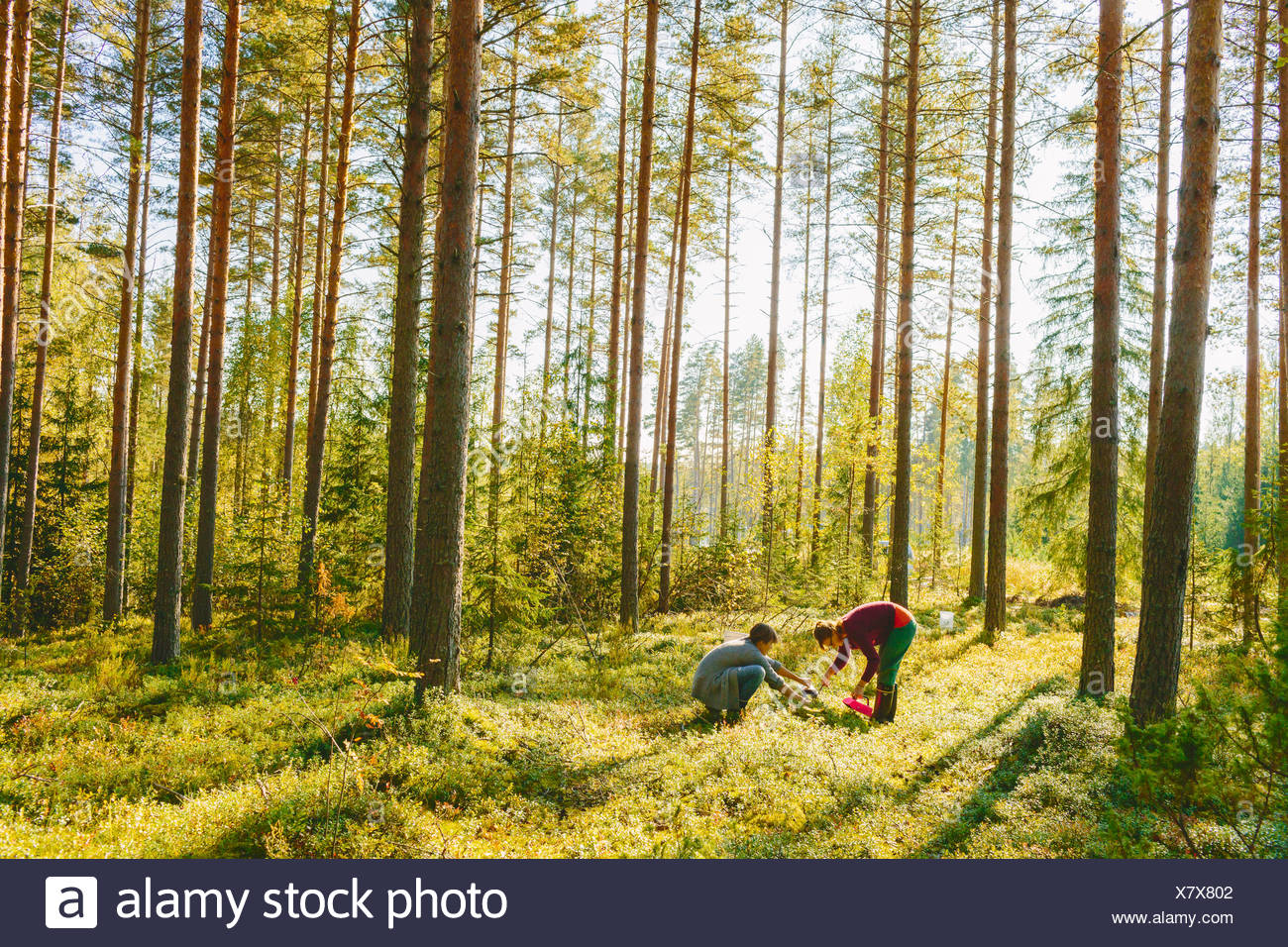 Finland, Etela-Savo, Huttula, Two women picking mushrooms in forest - Stock Image