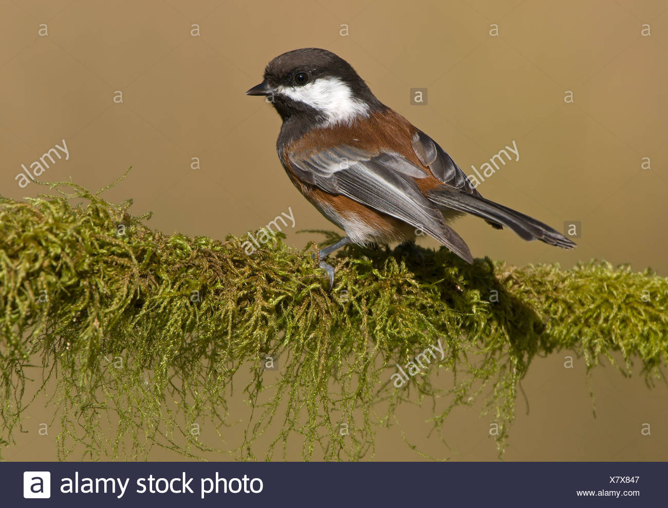 Chestnut-backed chickadee (Poecile rufescens) on mossy perch in Victoria, Vancouver Island, British Columbia, Canada - Stock Image