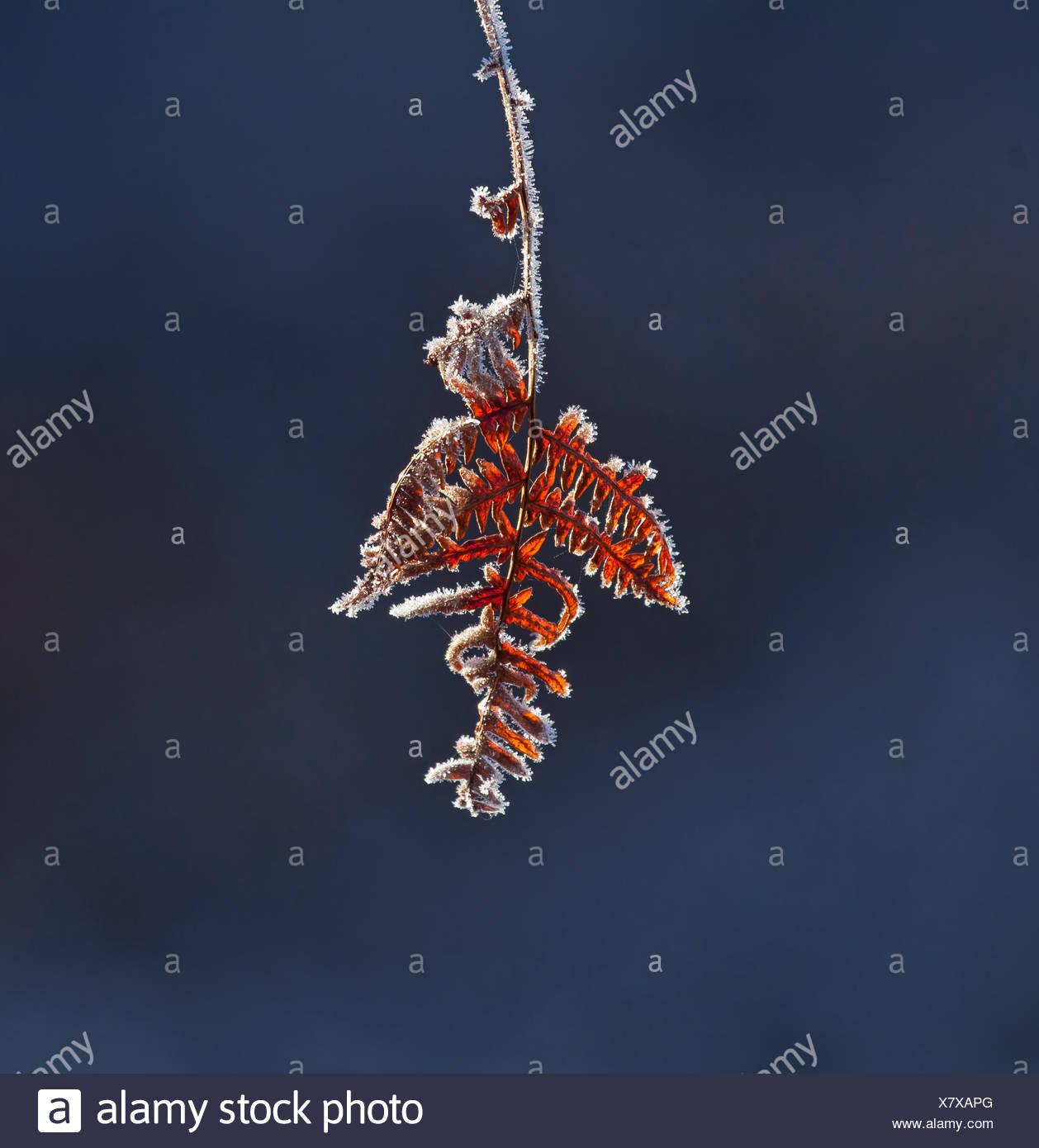 Frost on bracken Stock Photo