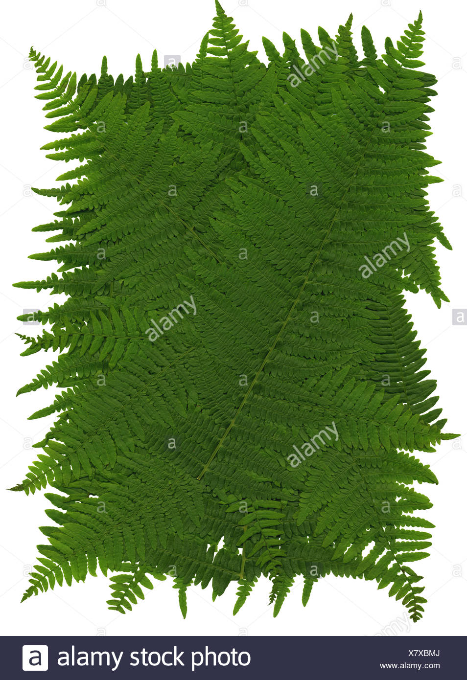 Texture of leaves of worm fern - Stock Image