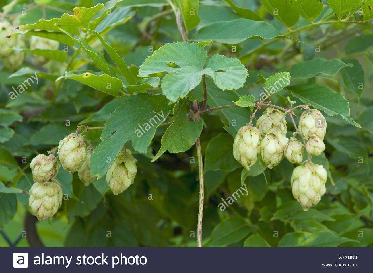 Hops (Humulus lupulus), female inflorescences - Stock Image