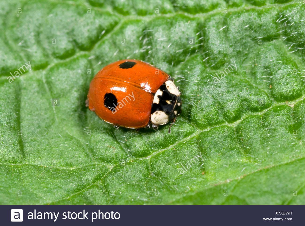 2 Spot Ladybird Adalia Bipunctata Adult On Leaf In Woodland