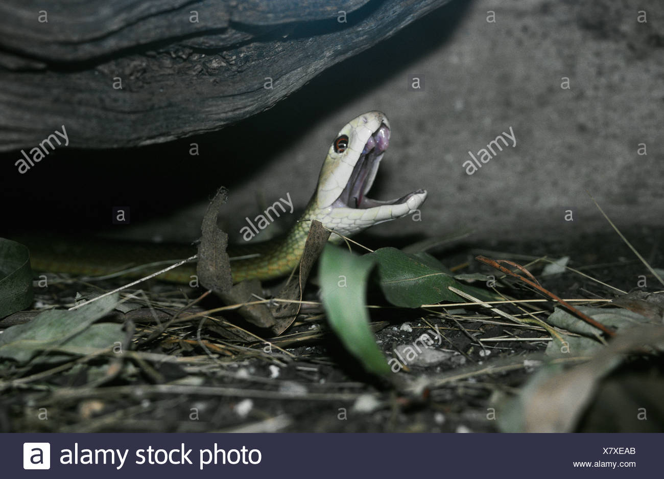 A deadly Inland Taipan rises off the ground as it strikes at prey. - Stock Image
