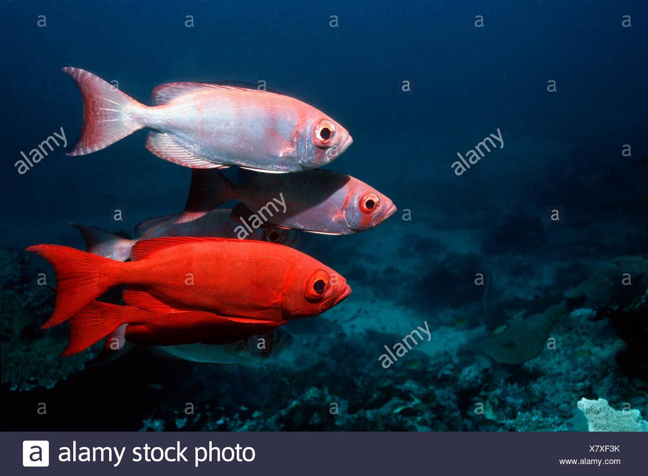 Red Bigeye Stock Photos & Red Bigeye Stock Images - Alamy