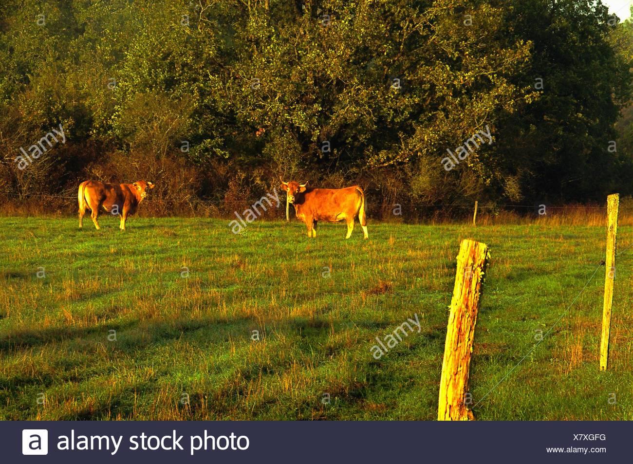 Limousin cows near Turenne, Corrèze, Limousin, France - Stock Image