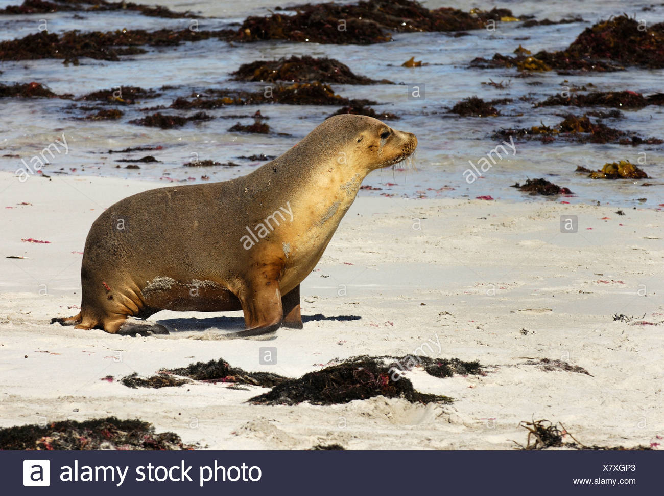 Australian Sea Lion (Neophoca cinerea), Seal Bay, Kangaroo Island, Australia Stock Photo