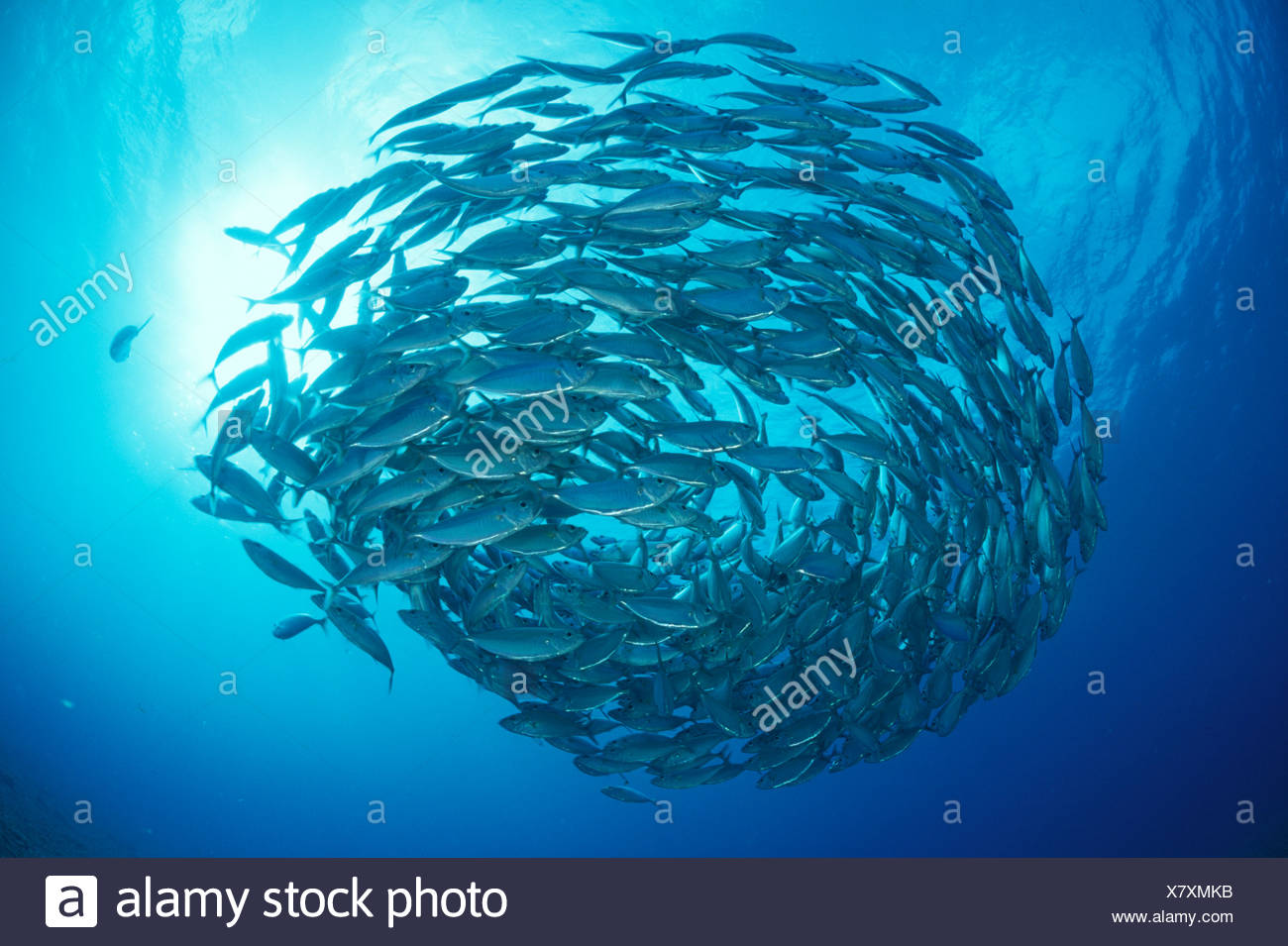 JACKFISH in defensive ball - Stock Image