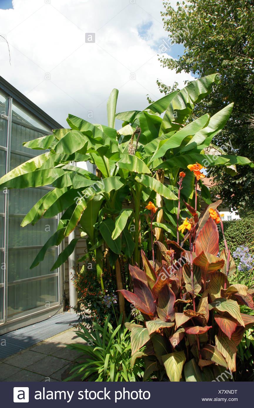 Musa ensete, Bananenstaude, banana - Stock Image