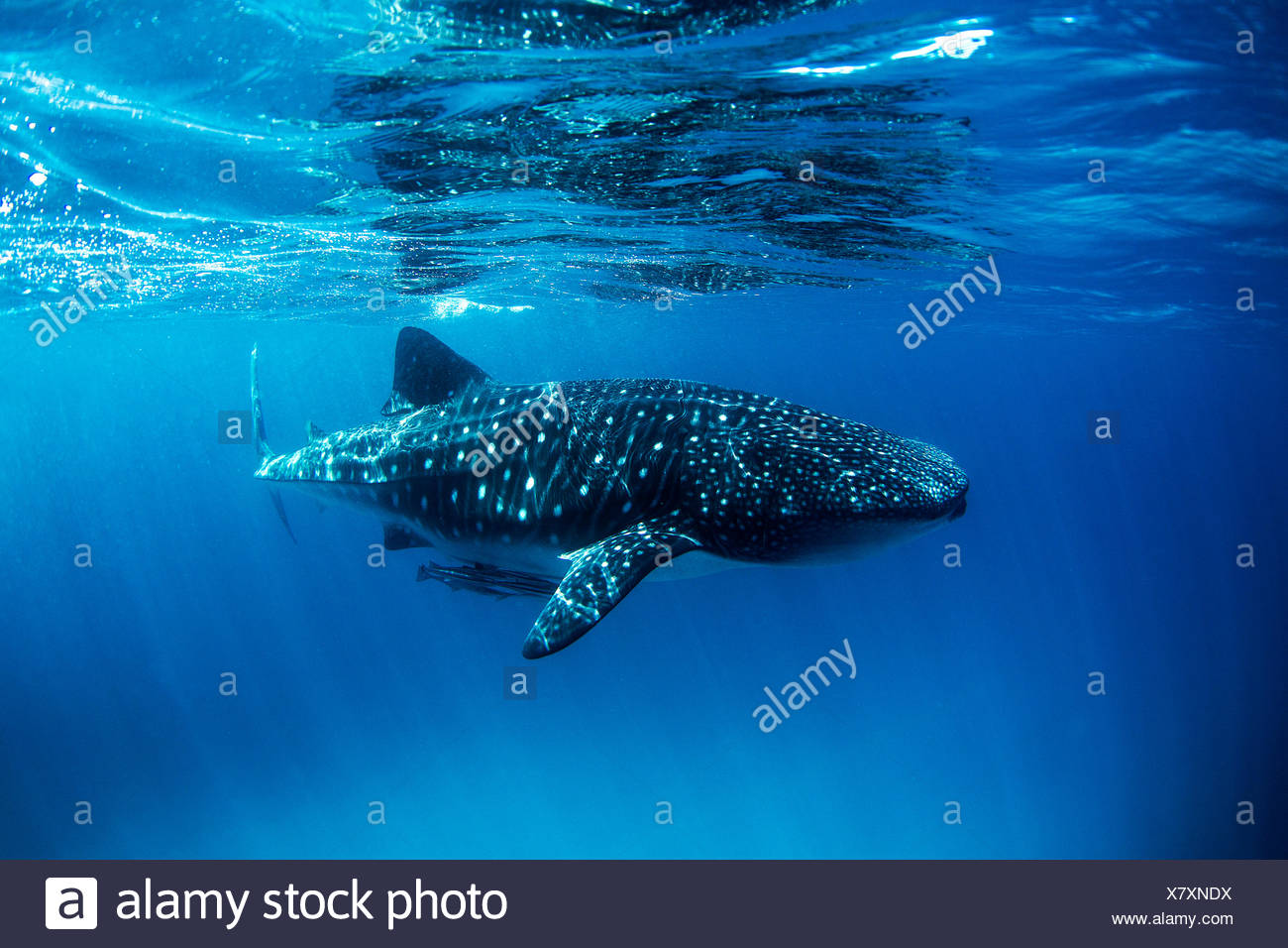 Whale shark with remoras swimming in ocean Stock Photo