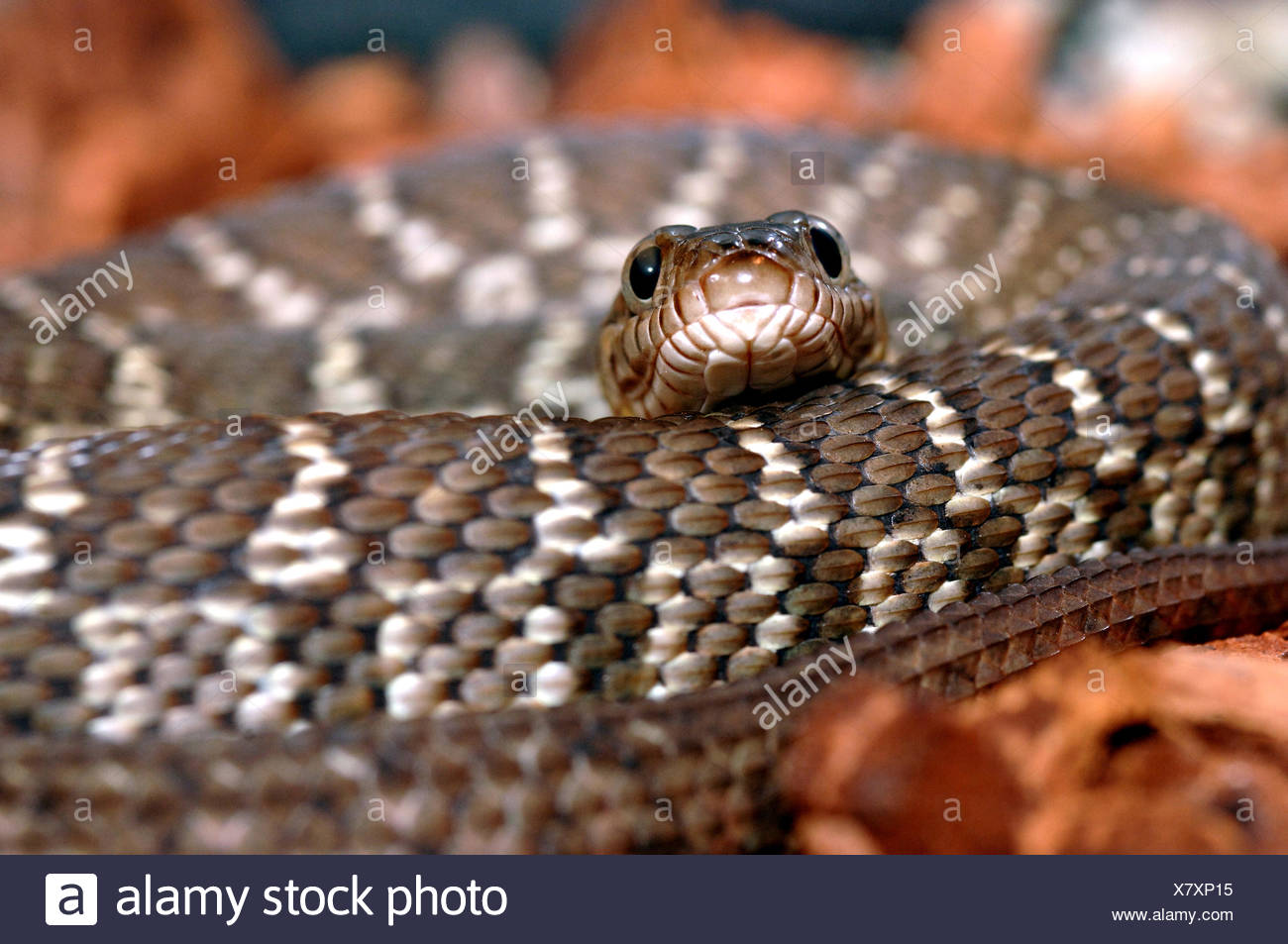 Diamond Water Snake - Stock Image