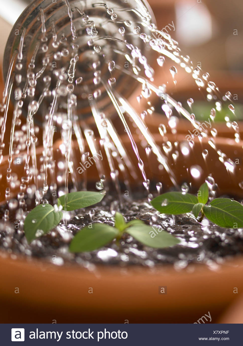 Close up of watering can watering seedlings in flowerpot - Stock Image