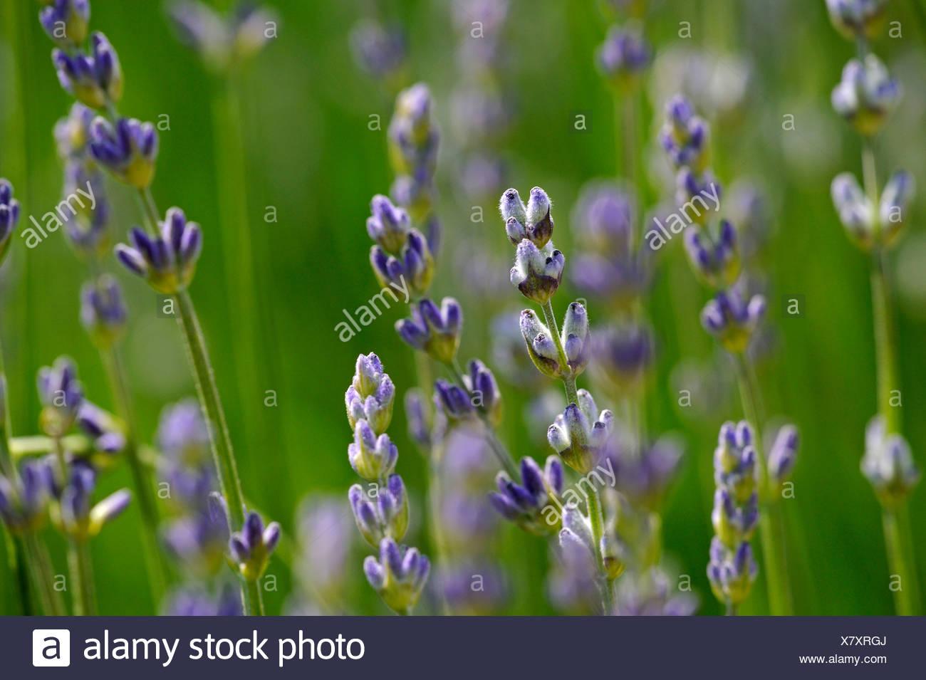 True or Common Lavender (Lavandula angustifolia) Stock Photo
