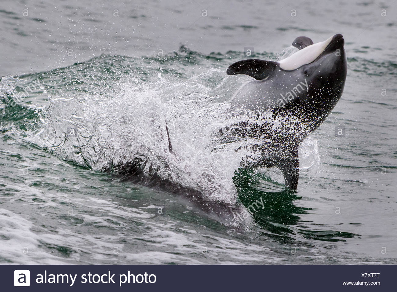 Pacific White Sided Dolphin jumping, back flip in Broughton Archipelago Marine Park, British Columbia, Canada. - Stock Image
