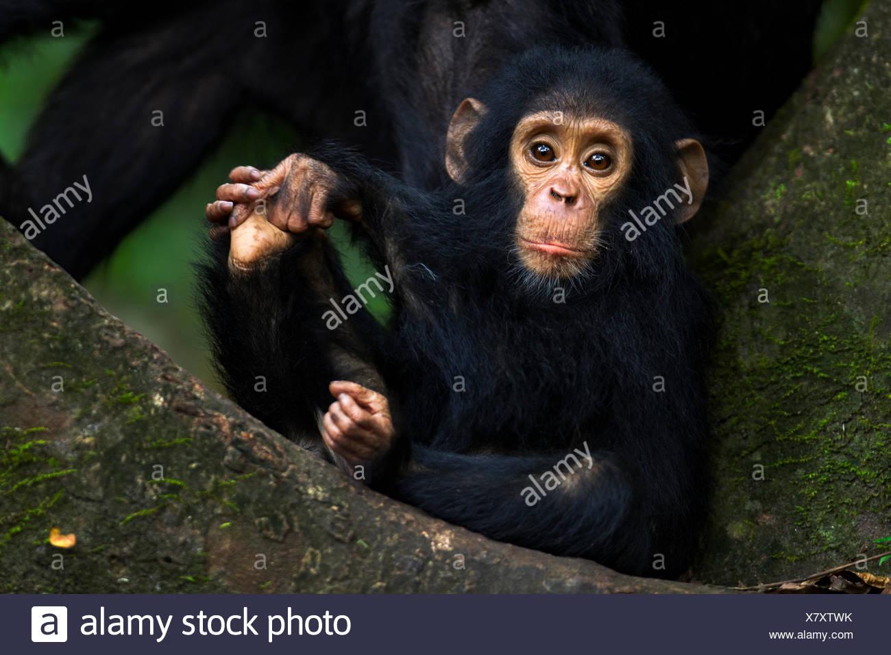 Eastern chimpanzee (Pan troglodytes schweinfurtheii) infant male 'Gizmo' aged 1-2 years sitting portrait. Gombe National Park, Tanzania. - Stock Image