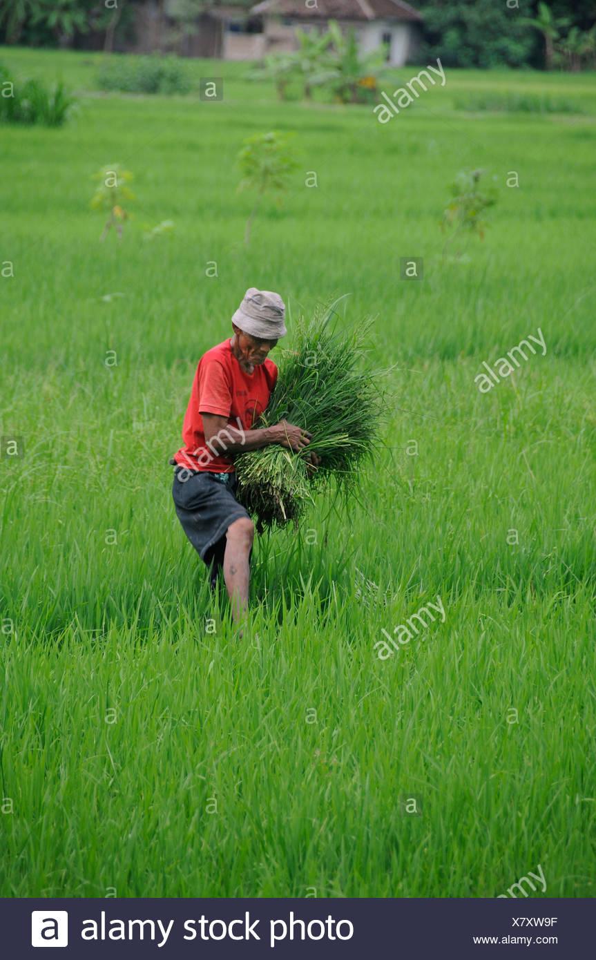 Farmer weeding weeds in a rice field, near Yogyakarta, Central Java, Indonesia, Southeast Asia - Stock Image