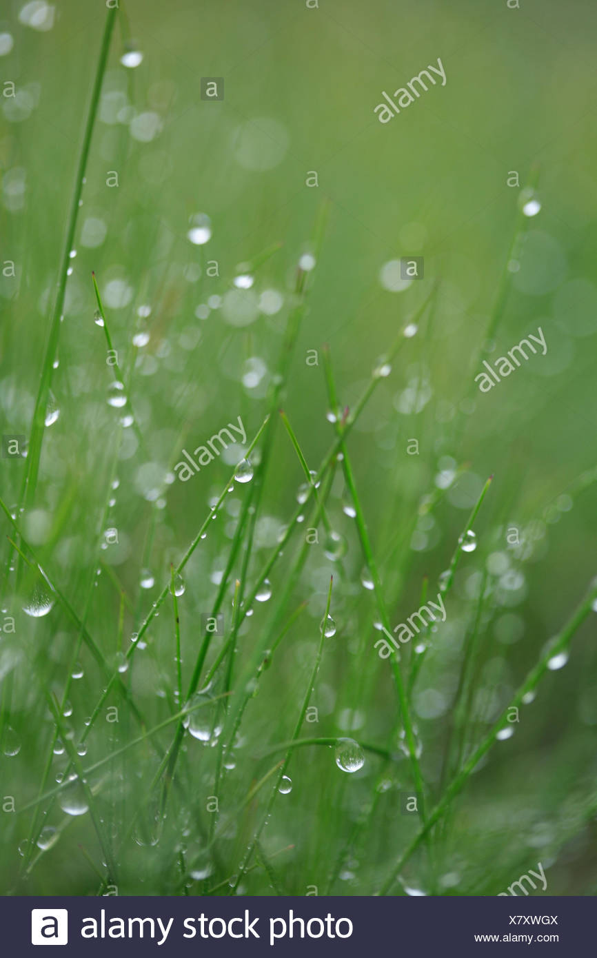 Grass, drops water, nature, meadow, plants, stalks, green, wet, moisture, humidity, damp, freshness, rope, dewdrop, morning rope, rain, raindrop, water, drop, many, glitters, - Stock Image