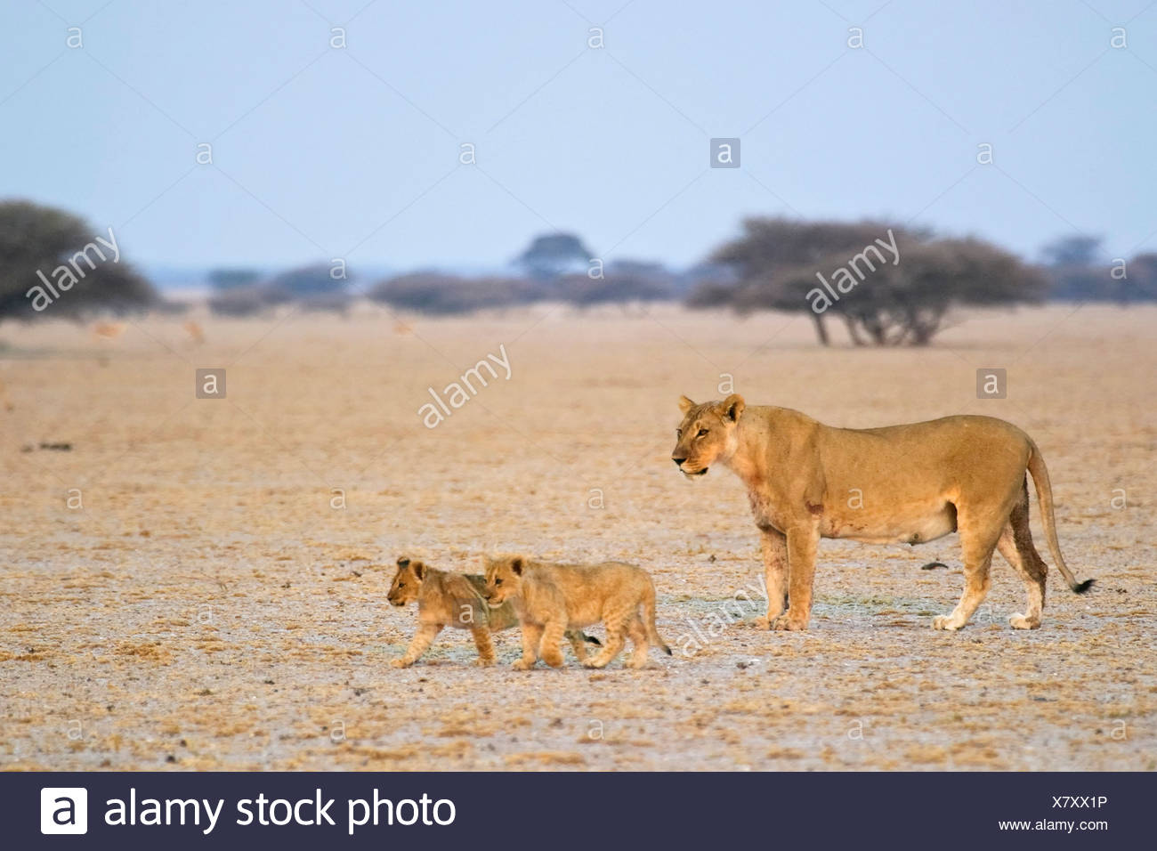 Lioness (Panthera leo) is walking with her cups, Nxai Pan, Makgadikgadi Pans National Park, Botswana, Africa Stock Photo